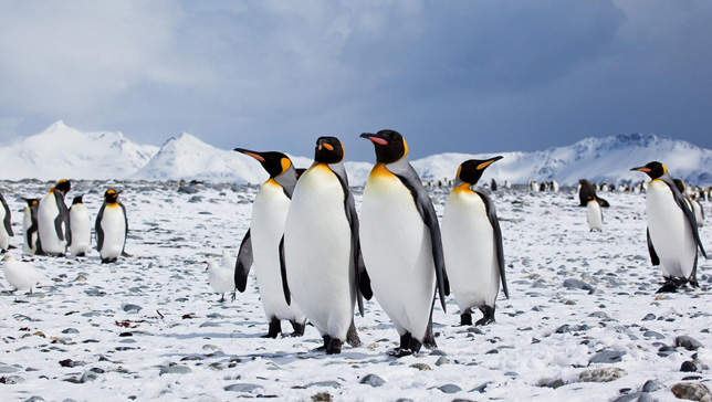 EmperorPenguins-m-0310